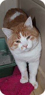 Domestic Shorthair Cat for adoption in Napa, California - Uncle Hamish