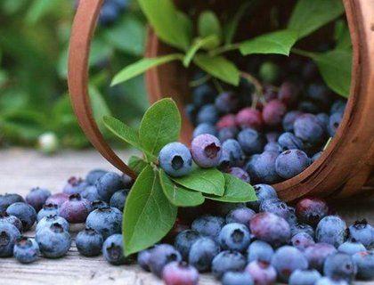 Секреты посадки и выращивания голубики садовой