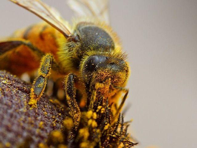 Květový pyl Je vlastně potravou včel a vynikajícím doplňkem. Pyl je zpracováván včelkami vúlu, kde je vystaven přírodnímu kvasnému procesu. Včelí pyl obsahuje: aminokyseliny, stopové prvky, enzymy, sacharózu, tuky, cukry, fruktózu, vitamín A, B1, B2, B3, B5, B6, B7, B9, B12, C, D, E, K, draslík, fosfor, síru, hořčík, jód, měď, sodík, vápník, zinek, železo.…