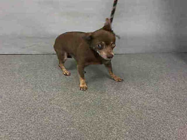 SUPER URGENT Manhattan center LUPE – A1096778  FEMALE, BROWN / WHITE, CHIHUAHUA SH MIX, 12 yrs STRAY – ONHOLDHERE, HOLD FOR ID Reason STRAY Intake condition GERIATRIC Intake Date 11/13/2016, From NY 10011, DueOut Date 11/16/2016,