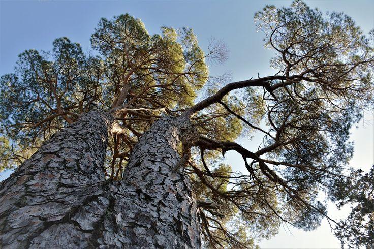 M  o   m   e   n   t   s   b   o   o   k   .   c   o   m: Umbrella pine  (Download file free at:http://ww.ph...