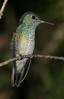 kolibřík duhový - druh kolibříka rozšířený převážně v polootevřených krajinách