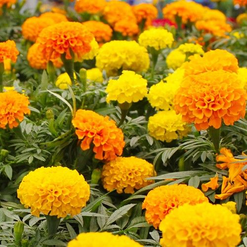 AFRICAN MARIGOLD CRACKERJACK :: 200 seeds via Green Seed Tasmania. Click on the image to see more!