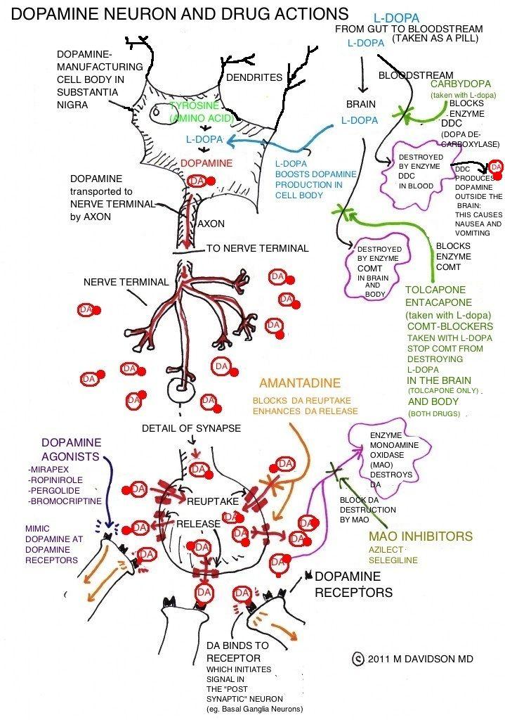 Dopamine and Major Parkinson's Drug Classes by Marshall Davidson MD