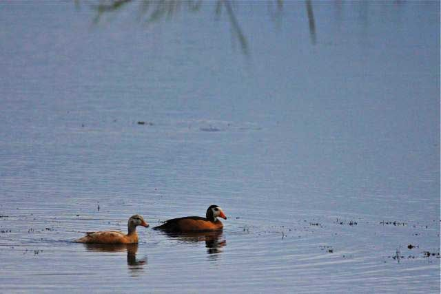 An exceptionally small and picturesque water bird, the African pygmy goose, is also best observed at this time of year.