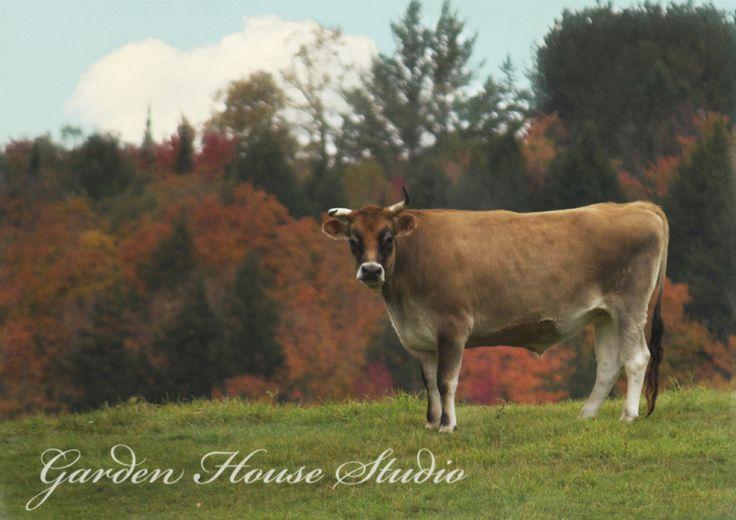 Vermont #jerseycow