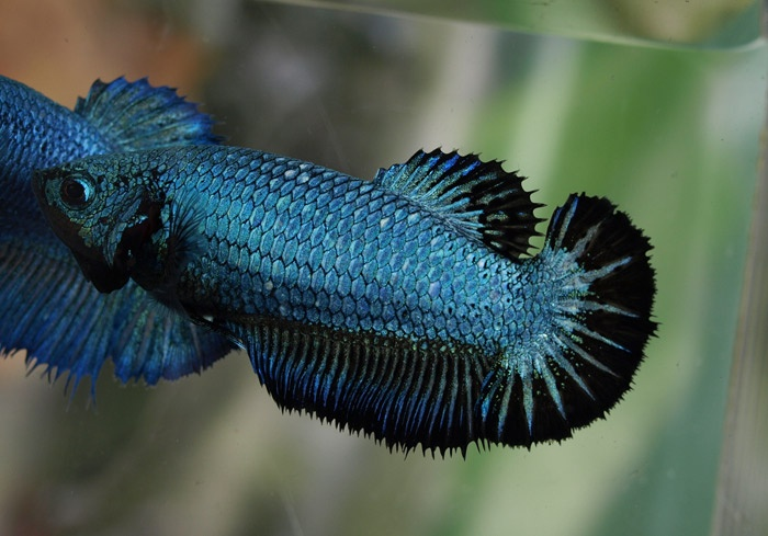 17 best images about female betta fish pictures on for Pictures of female betta fish