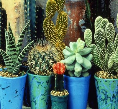 Cactus garden with Moroccan blue and green flower pots..