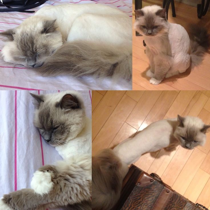 Shaved cat haircut idea: keep the tail long, fur boots, and diamond shaped fur cut around the face. ☺️