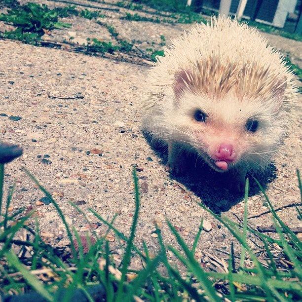 Sassy little hedgie.