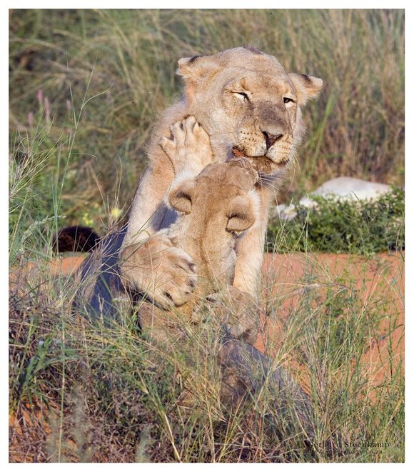 Lioness & Cub, Rooiputs, Kgalagadi Transfrontier Park,South Africa
