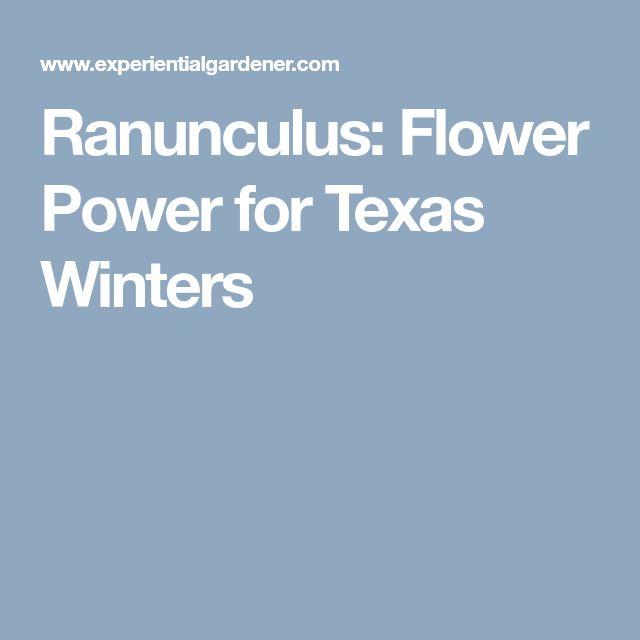 Ranunculus: Flower Power for Texas Winters
