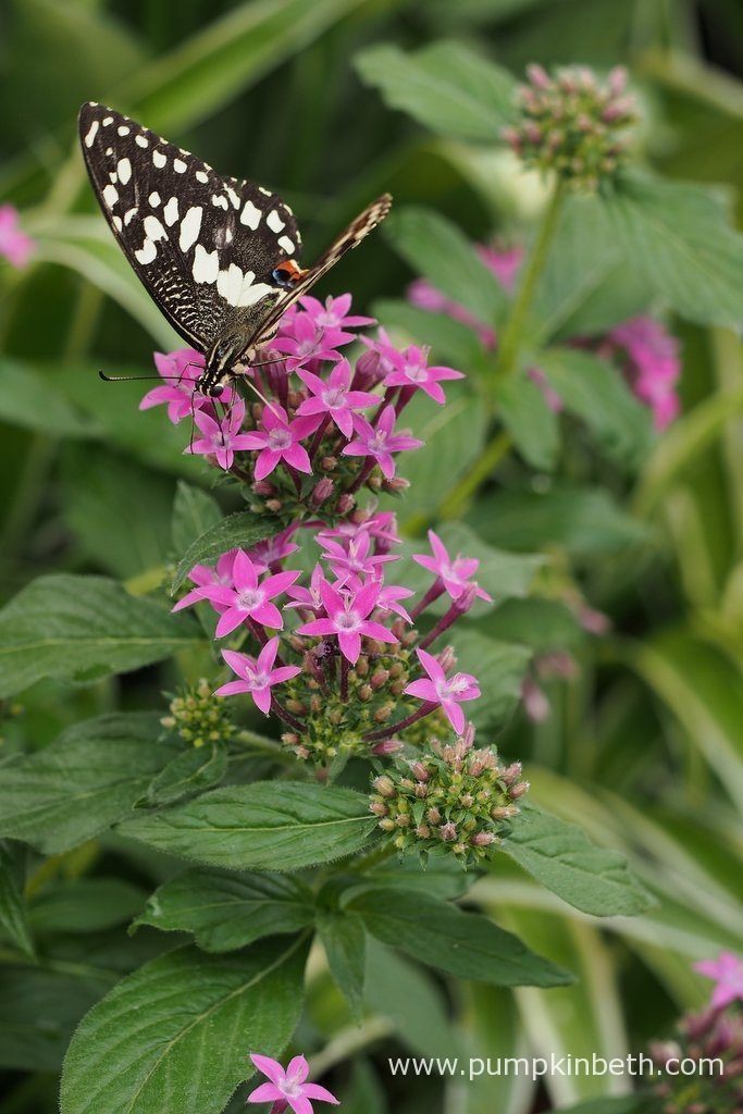 Purple coloured flowers are especially popular with butterflies. This Chequered Swallowtail butterfly, also known by its scientific name of Papilio demoleus, is pictured inside the Butterfly Dome, at the RHS Hampton Court Palace Flower Show 2017.