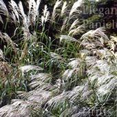 Miscanthus sinensis 'Gracillimus' - Prachtriet
