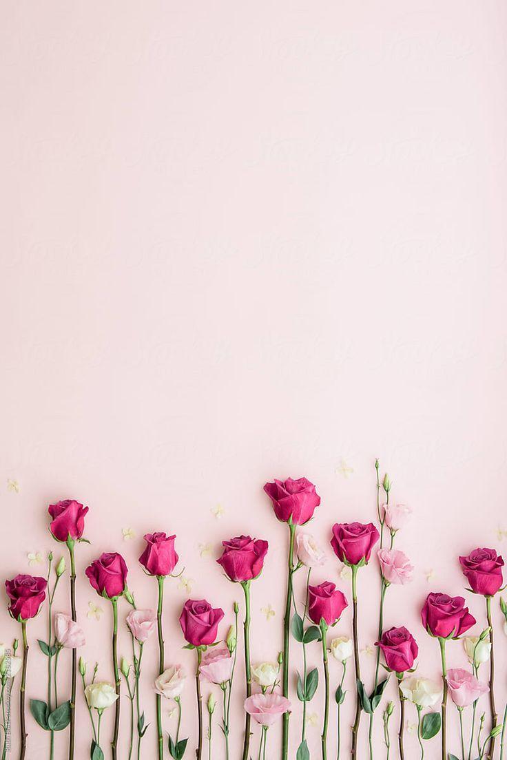 Rosa Rosen auf einem rosa Hintergrund von Ruth Black für Stocksy United