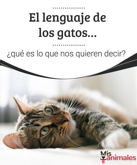 El lenguaje de los gatos...¿Qué es lo que nos quieren decir?  ¿Conoces el lenguaje de los gatos? En este artículo comprende algunos de los comportamientos más habituales de los felinos.