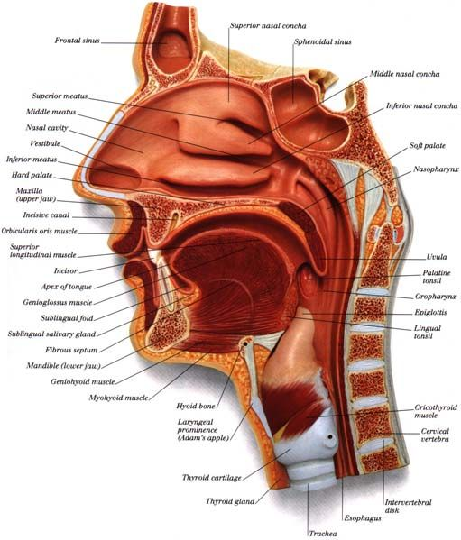 Anatomy for Speech Pathology  Follow all our boards at pinterest.com/linguahealth for our latest therapy pins