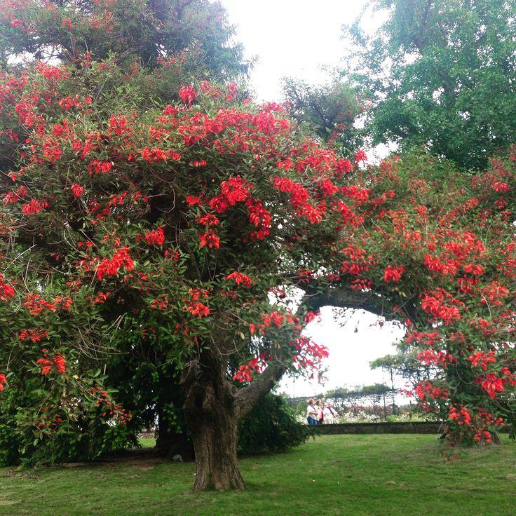 National tree of Uruguay - Ceibo
