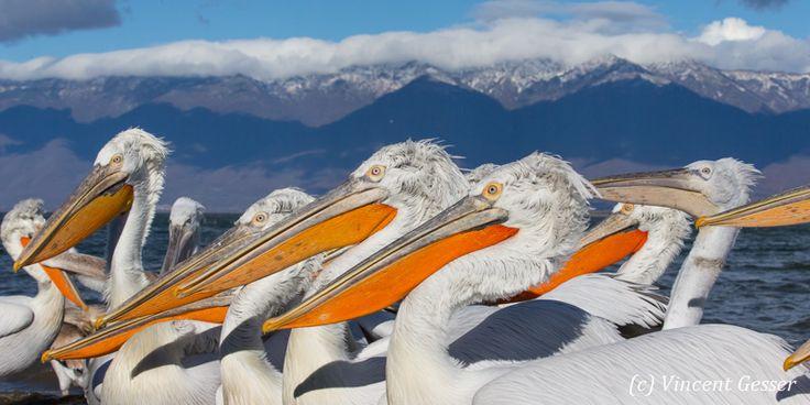 Далматинских пеликанов (pelecanus crispus) и снежные горы, Национальный парк озеро Керкини, Греция
