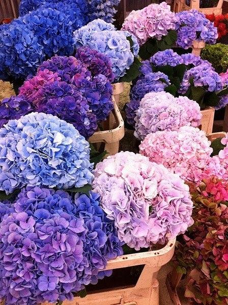 Ortensie in differenti tonalità! #giardinaggio