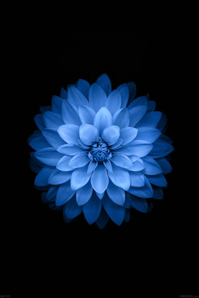 FreeiOS7 | ac99-wallpaper-apple-blue-lotus-iphone6-plus-ios8-flower | freeios7.com