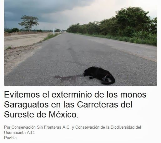 Monos saraguatos son atropellados en las carreteras del Sureste: Change.org