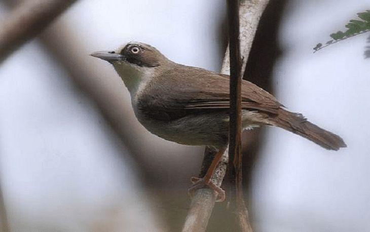 Mengetahui 5 Jenis Burung Opior Dan Ciri Khasnya Burung Burung Kolibri Jenis