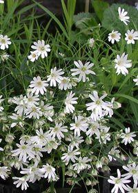 Für Blumenkasten Schatten/Stellaria holostea - Große Sternmiere-Wintergrün