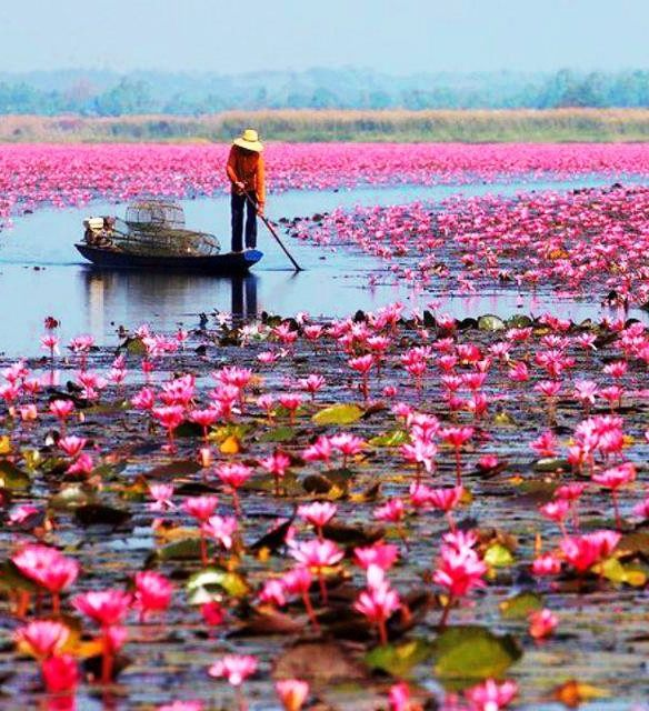 Water Lilies in Lake Nong Harn, Thailand