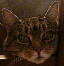 Pupillen - Kat (dier) - Wikipedia