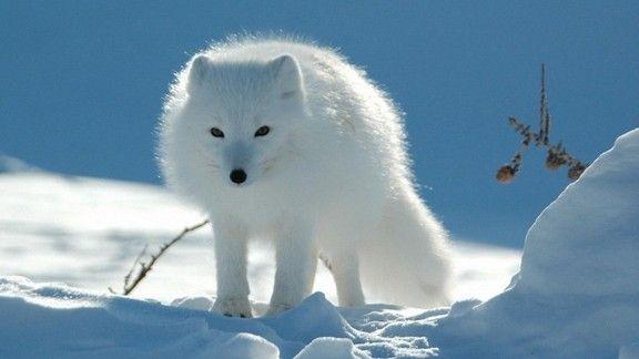 Kutup Tilkisi  #wallpaper #kutuptilkisi #fox #tilki #kar #snow