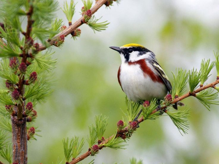Bird On Branch Lovely Buds Nature Nice Tree Cute Greenery Beautiful Animal Spring Sweet Pretty