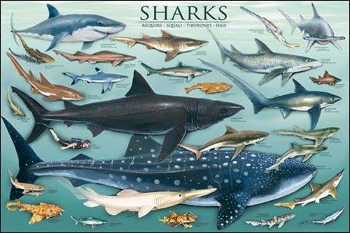 Deze heb ik gekozen omdat je hier heel goed kan zien wat voor soorten haaien er zijn, dit heb ik nodig zodat ik ook een beetje origineel kan zijn door verschillende soorten patroontjes op de haai te tekenen. hier kan ik ook goed zien hoe sommige haaien er uit zien bijvoorbeeld de hamerhaai dat is leuk om na te tekenen om dat het niet een standaard haai is en zo ben ik op zoek gegaan naar aparte haaien.