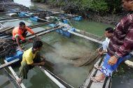 D'après le rapport, l'aquaculture assurera 62 pour cent de la production de poisson destiné à la consommation d'ici 2030 avec, en tête, le tilapia, la carpe et le poisson-chat. La production mondiale de tilapia devrait pratiquement doubler, passant de 4,3 à 7,3 millions de tonnes annuelles de 2010 à 2030.