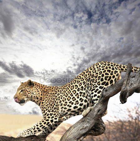 Leopardo — Foto de Stock