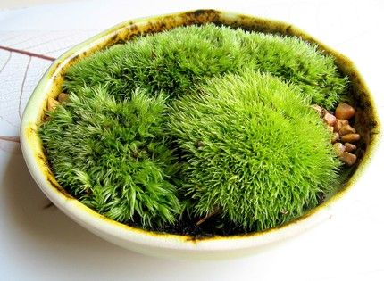 Indoor moss garden: Harvest moss from the outdoors, plant with soil and spritz with water occasionally=your own soft, fuzzy garden.
