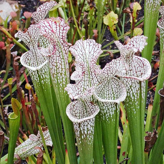 Pitcher plants look exotic, but they are extremely adaptable to any growing situation! Learn more about this gorgeous plant: http://www.bhg.com/gardening/flowers/perennials/growing-pitcher-plants/?socsrc=bhgpin112613pitcherplants