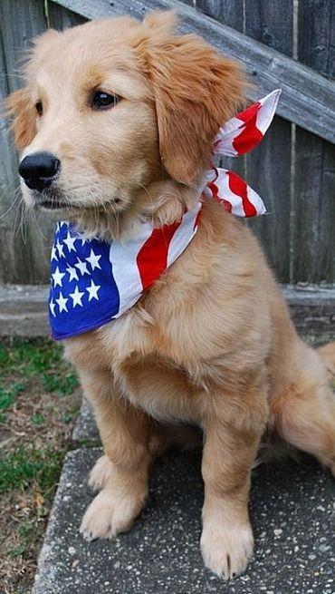 patriotic Golden Retriever....
