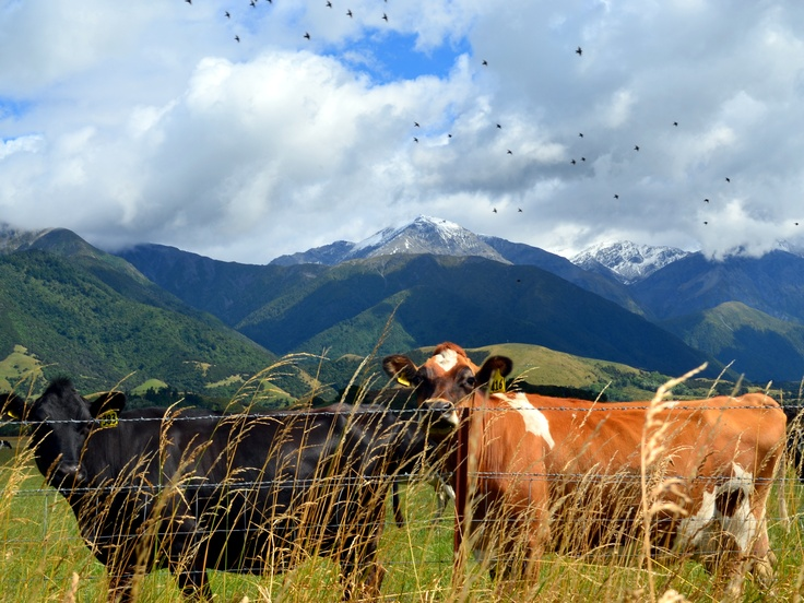 Cows in NZ!