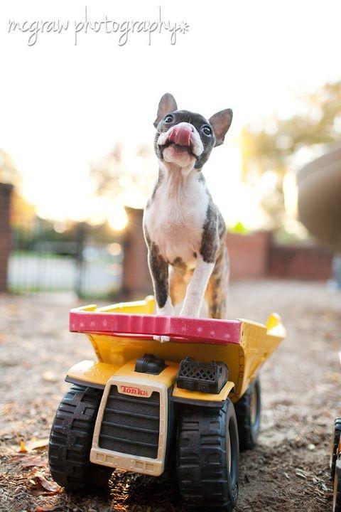 Boston. By Sarah McGraw.: Boston Terriers Puppys, Baby Keerah, Pet Photography, Boston Baby, Boston Puppys, Boston Photo, Boston Terriers Love Ems, Mcgraw Photography, Boston Terrier Puppies