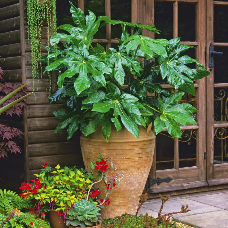 evergreen how to grow fatsia japonica the garden of. Black Bedroom Furniture Sets. Home Design Ideas