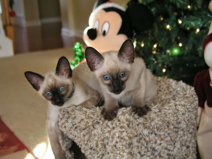 Breeders Of Siamese Kittens Available For Sale Siamese Kittens Raised In Our Lo Siamese Kittens Siamese Cats Blue Point Kitten Adoption