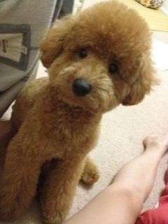 Toy poodle breeders new england