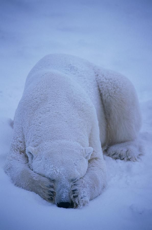 Polar Bear closing his eyes - Paul Nicklen.