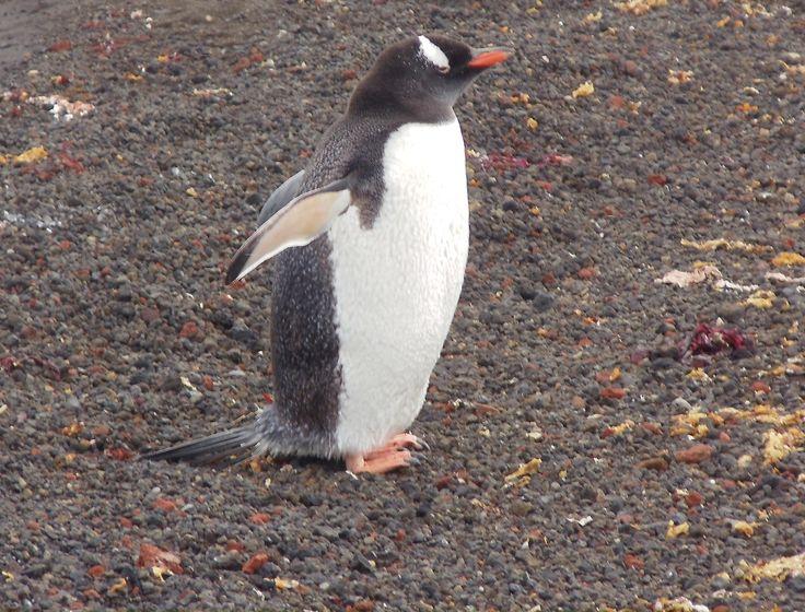 Pinguino en Isla Desepción