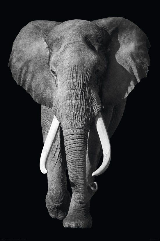 REINDERS Olifant - Poster - 61x91,5cm