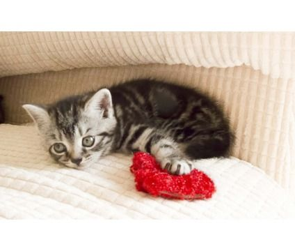 tunning British shorthaired silver tabby kittens for sale | Grey ...