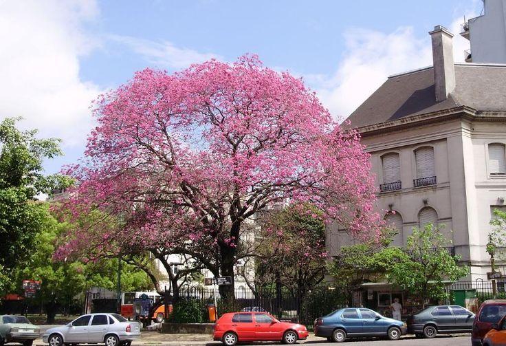 Conocé los árboles de Buenos Aires (¡mucha info!) - Taringa!