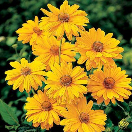 Better Homes 2.5qt Heliopsis Dbl Snstrk