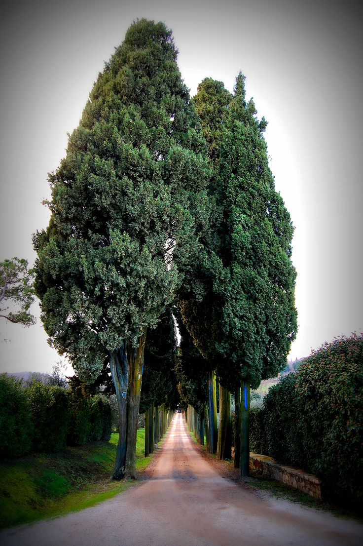 Cypresses, Tenuta Il Greppo, Biondi Santi